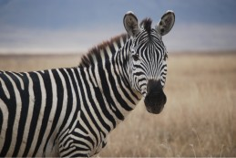 zebra-fc88c5